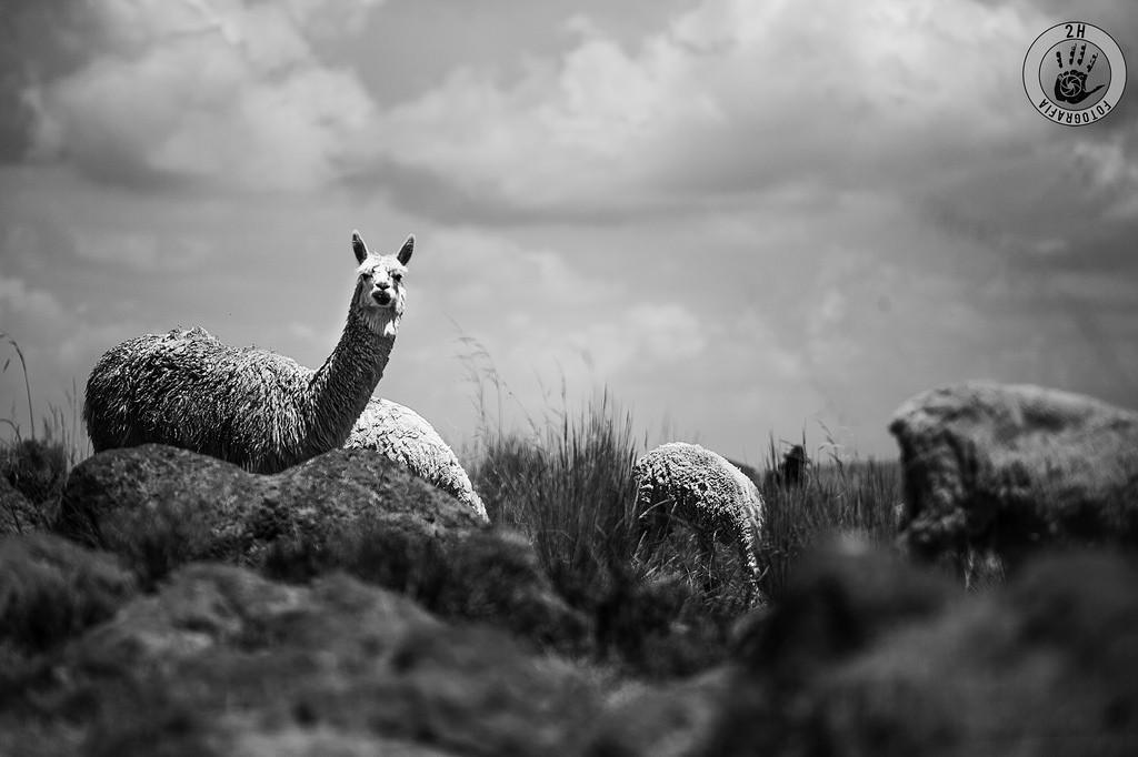 Alpacas en Sillustani