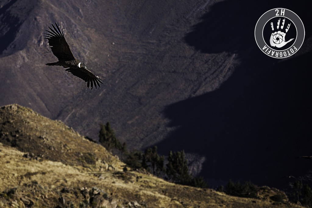 Cóndor sobrevolando el Cañón del Colca